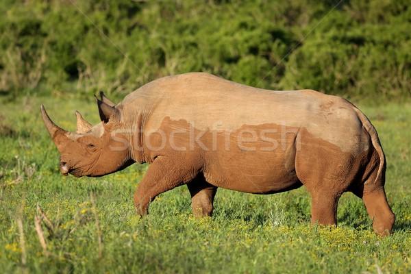 Raro preto rinoceronte África alimentação verde Foto stock © fouroaks