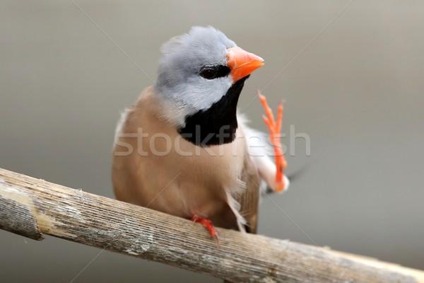 Aves naranja pico negro hombre hermosa Foto stock © fouroaks