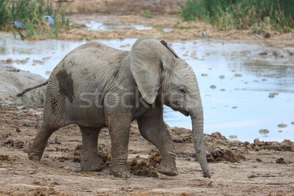 Bebê elefante africano água buraco bonitinho corrida Foto stock © fouroaks