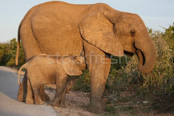 Suckling Baby Elephant Stock photo © fouroaks