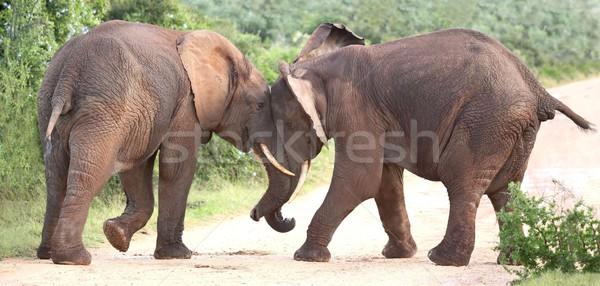 African Elephant Aggression Stock photo © fouroaks