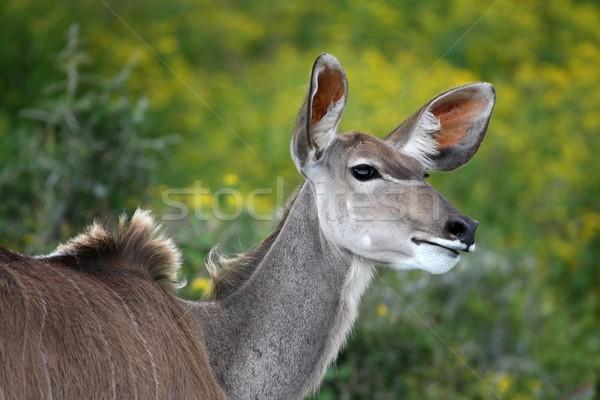 Kudu Ewe Antelope Stock photo © fouroaks
