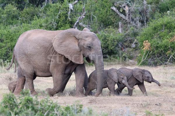 Stok fotoğraf: Bebek · Afrika · filler · anne · iki