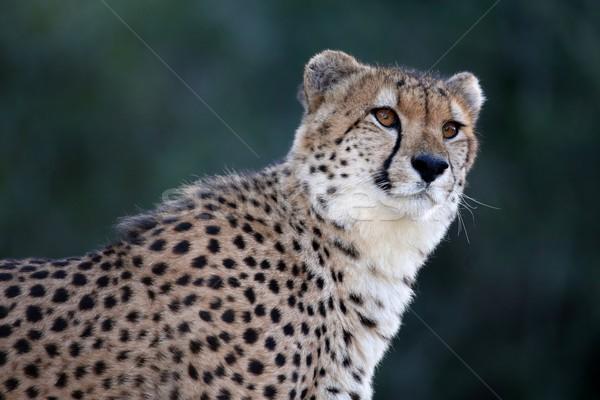 Guépard portrait belle sauvage chat Afrique Photo stock © fouroaks