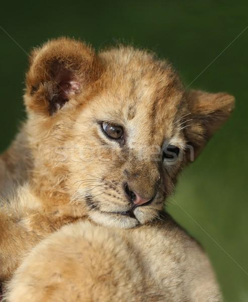 ライオン カブ 小 かわいい 見える 戻る ストックフォト © fouroaks