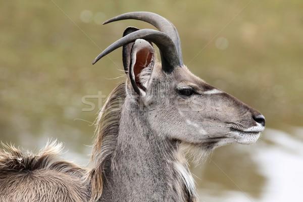 Kudu Antelope Profile Stock photo © fouroaks