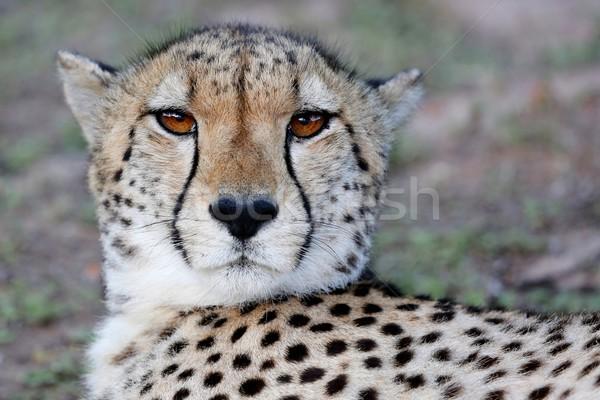 Cheetah Portrait Stock photo © fouroaks