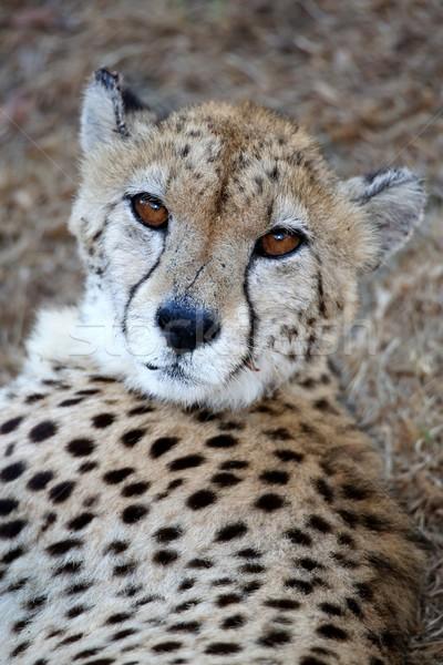 Guépard sauvage chat portrait belle visage Photo stock © fouroaks