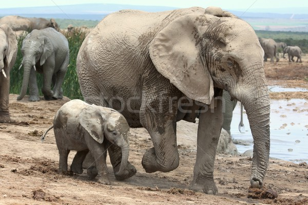 Stock photo: Baby African Elephant and Mom