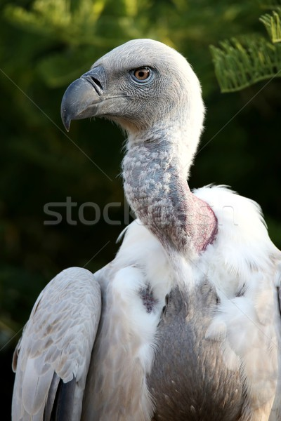 Griffon Vulture Bird Portrait Stock photo © fouroaks
