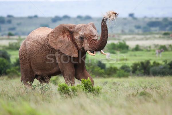 Elefante africano grama ar África poder Foto stock © fouroaks