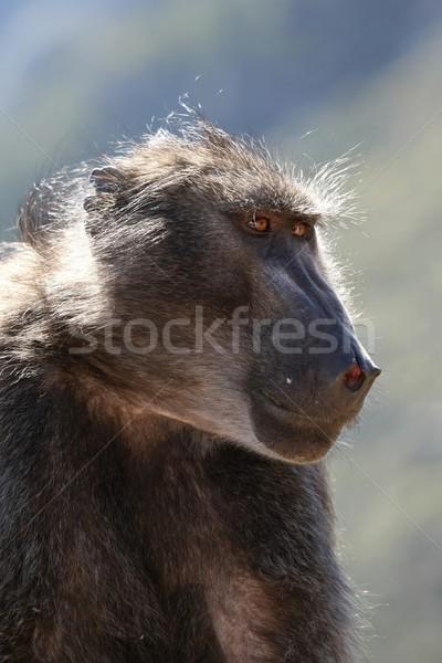 Baboon Portrait Stock photo © fouroaks