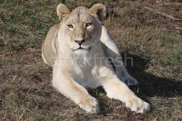 Stock fotó: Portré · gyönyörű · női · oroszlán · arc · szemek