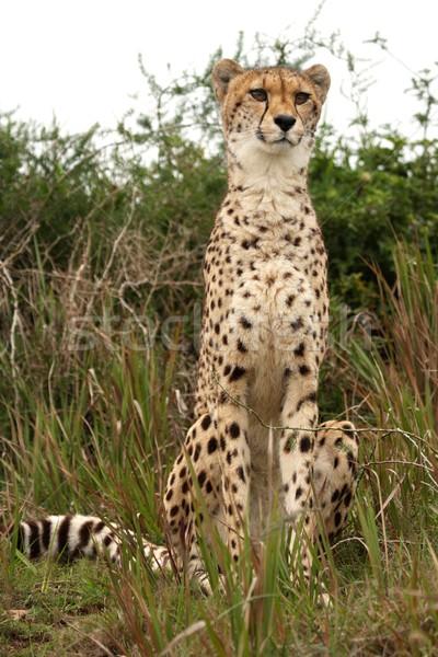 Guépard alerter sauvage chat Afrique vitesse Photo stock © fouroaks