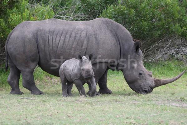 Stock photo: Baby Rhino with Adult