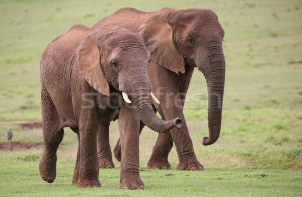 アフリカゾウ 群れ 家族 アフリカ 徒歩 ストックフォト © fouroaks