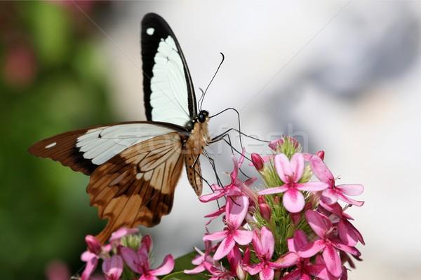 蝶 ブラウン 白 ピンク 花 ストックフォト © fouroaks