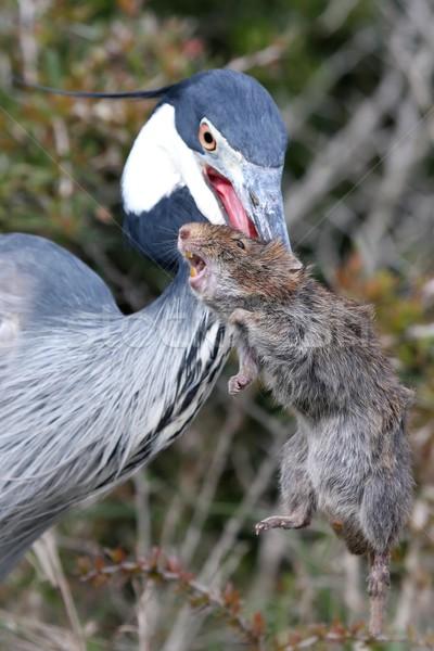 Garça-real pássaro rato bico grama Foto stock © fouroaks