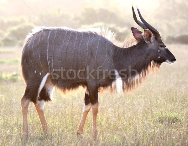 Backlit Nyala Antelope Stock photo © fouroaks