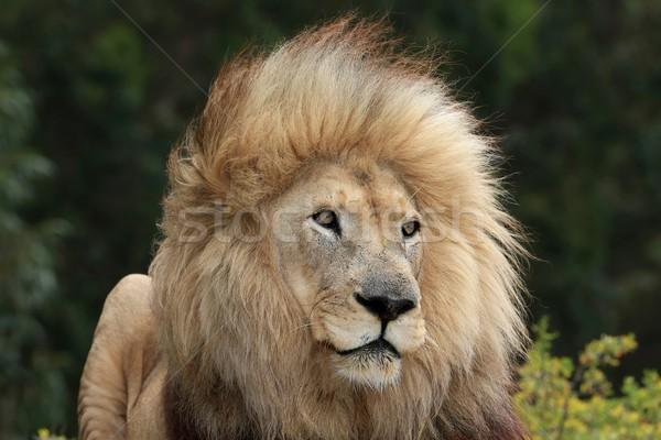 Male Lion Portrait Stock photo © fouroaks