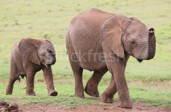 小さな アフリカゾウ 友達 家族 アフリカ ストックフォト © fouroaks