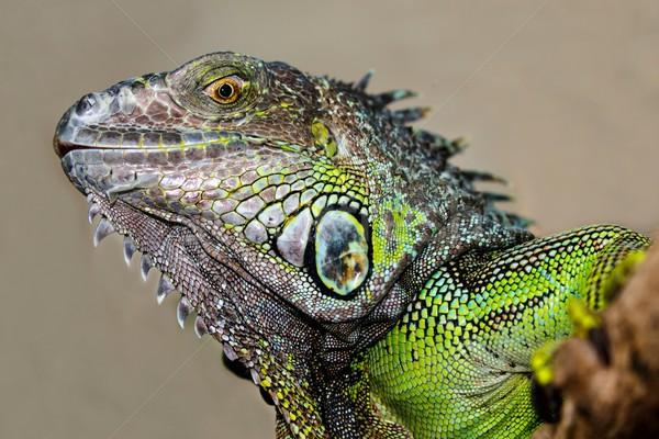 Yeşil iguana sürüngen ayrıntılı cilt doğa Stok fotoğraf © fouroaks
