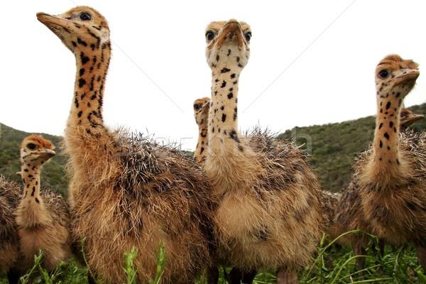 Kíváncsi strucc csoport baba néz Stock fotó © fouroaks