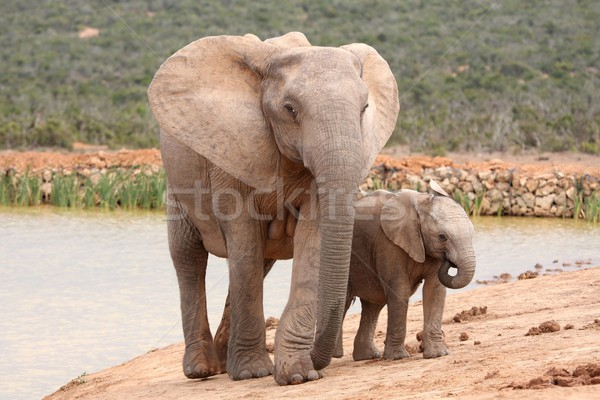 Stock photo: Elephant Baby and Mother
