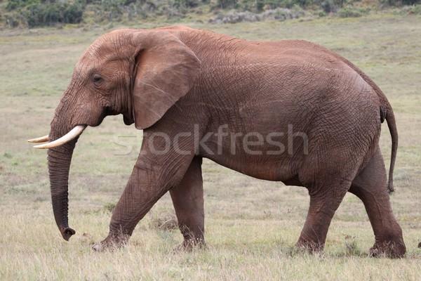 African Elephant Walking Stock photo © fouroaks
