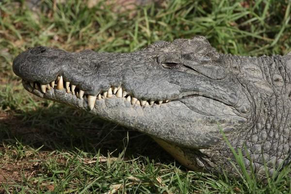 Nile Crocodile Teeth Stock photo © fouroaks