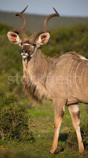 Male Kudu Antelope with Long Horns Stock photo © fouroaks