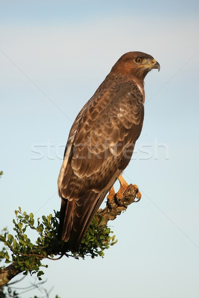 Yellow billed kite bird Stock photo © fouroaks