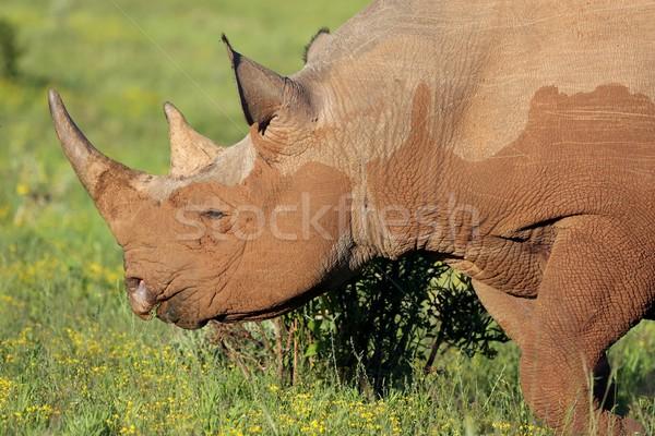 Nadir siyah gergedan Afrika yeme yeşil Stok fotoğraf © fouroaks