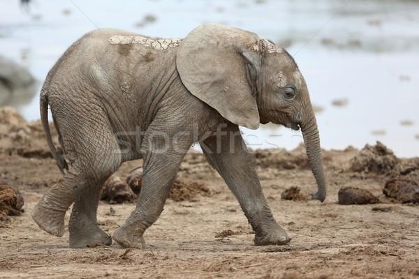 赤ちゃん アフリカゾウ かわいい を実行して 水 楽しい ストックフォト © fouroaks