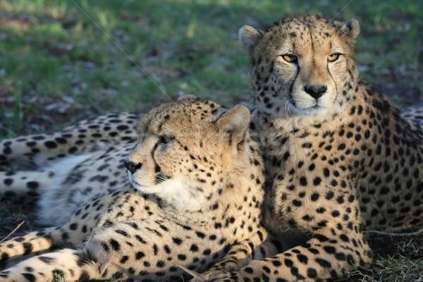 Guépard sauvage chats deux africaine Photo stock © fouroaks