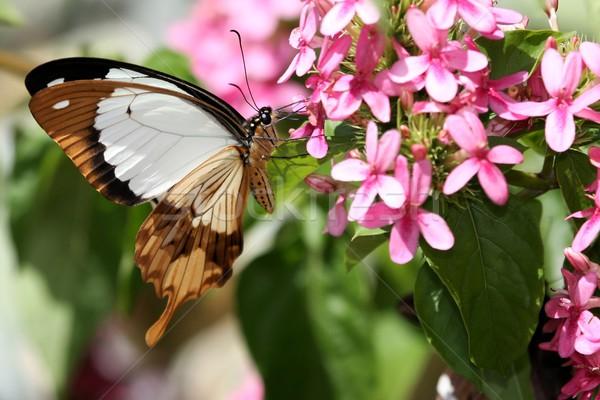 Swallowtail Butterfly Feeding Stock photo © fouroaks