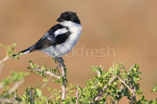 Shrike Bird Stock photo © fouroaks