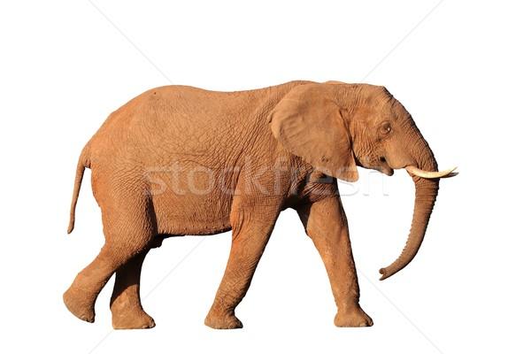 Afrikai elefánt izolált férfi akasztás lefelé Afrika Stock fotó © fouroaks