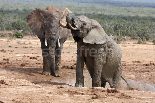 Afrikai elefántok kettő nagy sáros mászik Stock fotó © fouroaks