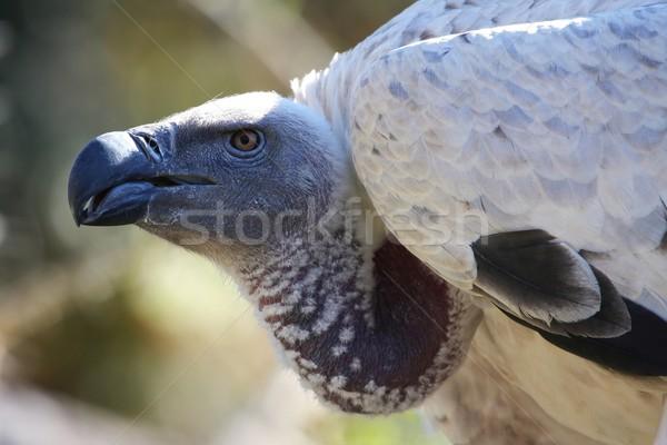 Vulture - Griffon Stock photo © fouroaks