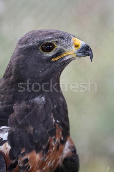 Jackal Buzzard Bird Stock photo © fouroaks
