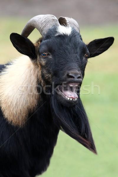 Cabra retrato masculina largo barba boca Foto stock © fouroaks