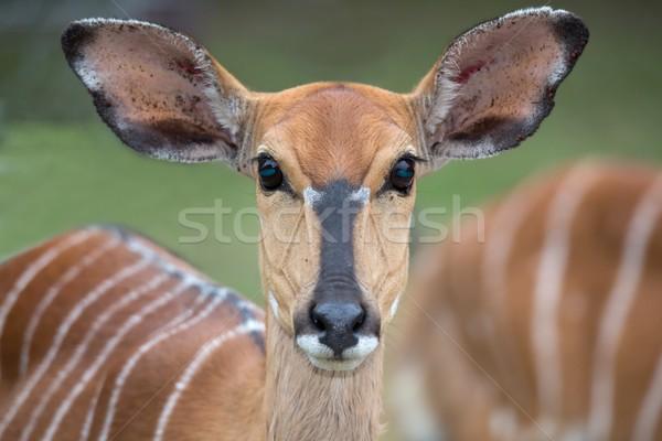 Female Nyala Antelope Stock photo © fouroaks