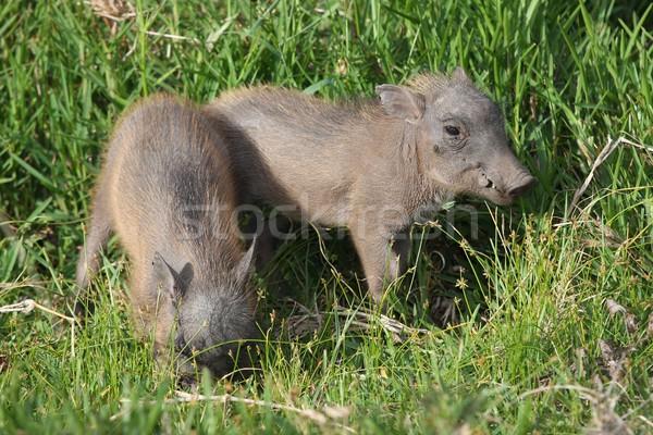 かわいい 赤ちゃん 2 小さな 緑の草 アフリカ ストックフォト © fouroaks
