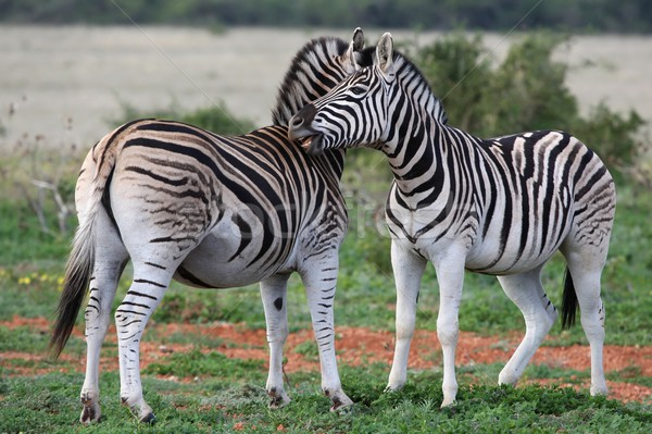 平野 シマウマ シマウマ 背景 口 アフリカ ストックフォト © fouroaks