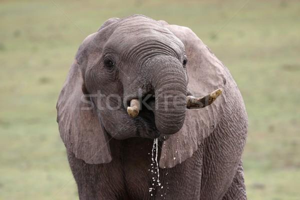 Afrika fil susuzluk ağız içme suyu doğa içmek Stok fotoğraf © fouroaks