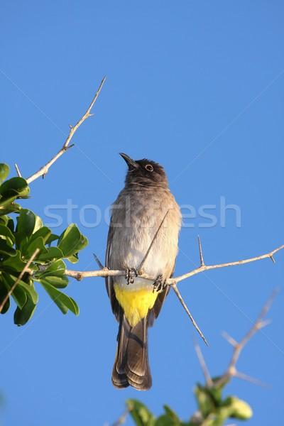 黄色 鳥 緑 青 アフリカ 動物 ストックフォト © fouroaks