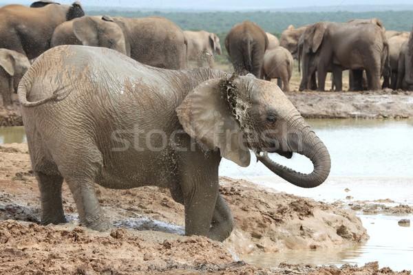 African Elephants Cooling Off Stock photo © fouroaks