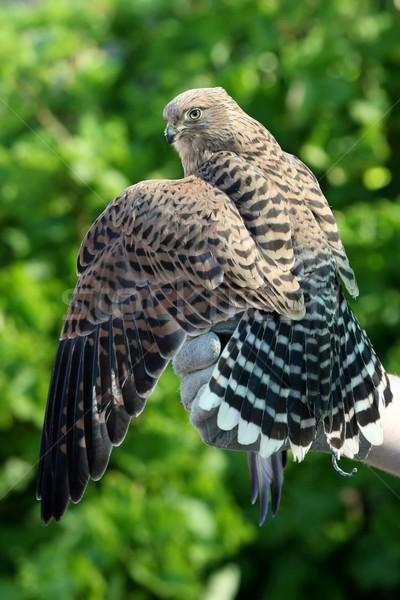 Halcón aves alas entrenadores mano ojo Foto stock © fouroaks