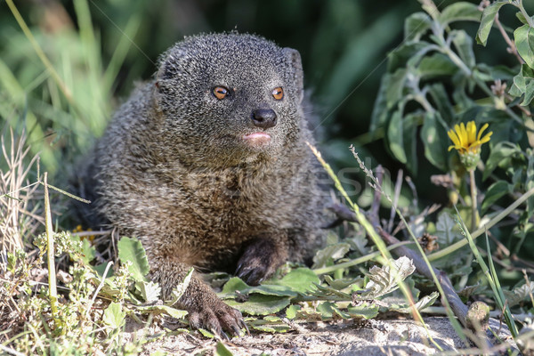 Stock photo: Grey Mongoose